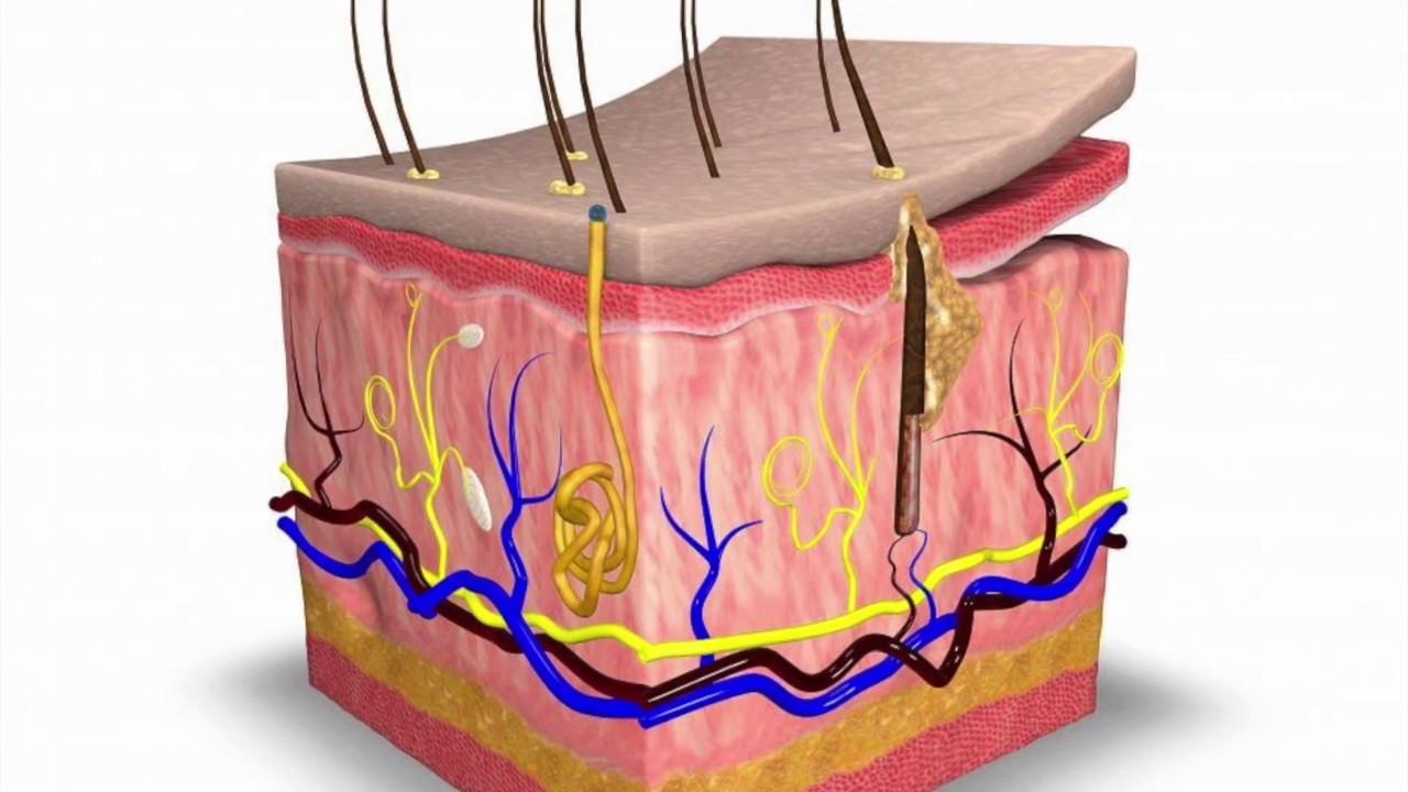 ملخص درس الجلد والعضلات ثاني متوسط