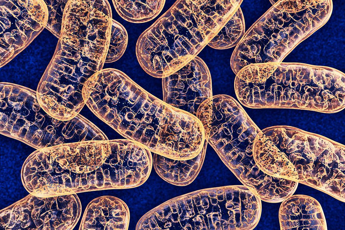 الميتوكوندريا أكثر عددا في خلايا البنكرياس