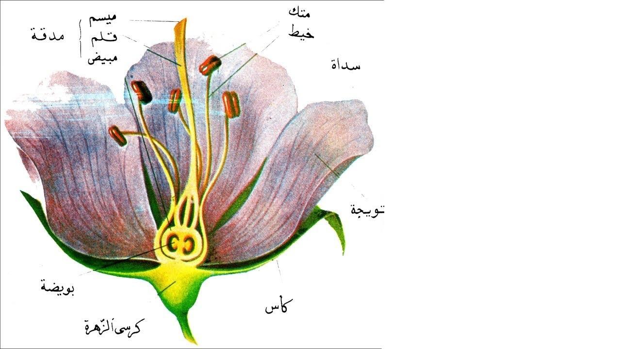 بحث عن النباتات البذرية وأنواعها وخصائصها