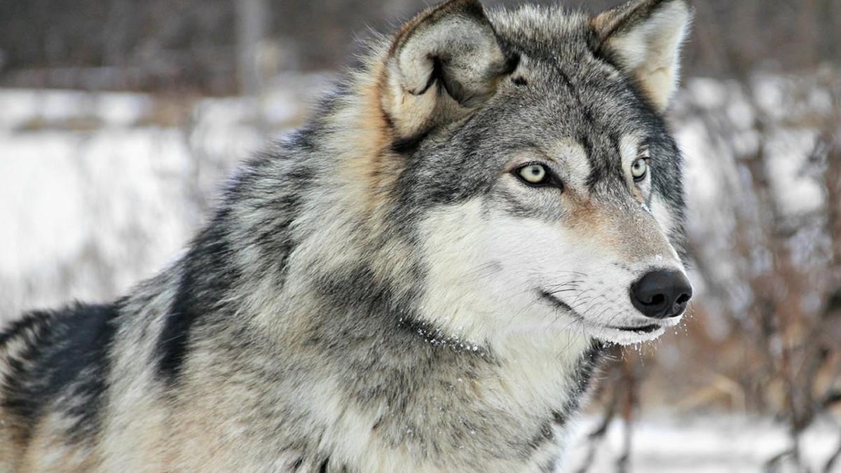 تفسير الذئب في المنام ومعناه بشرة خير أو شر لإبن سيرين