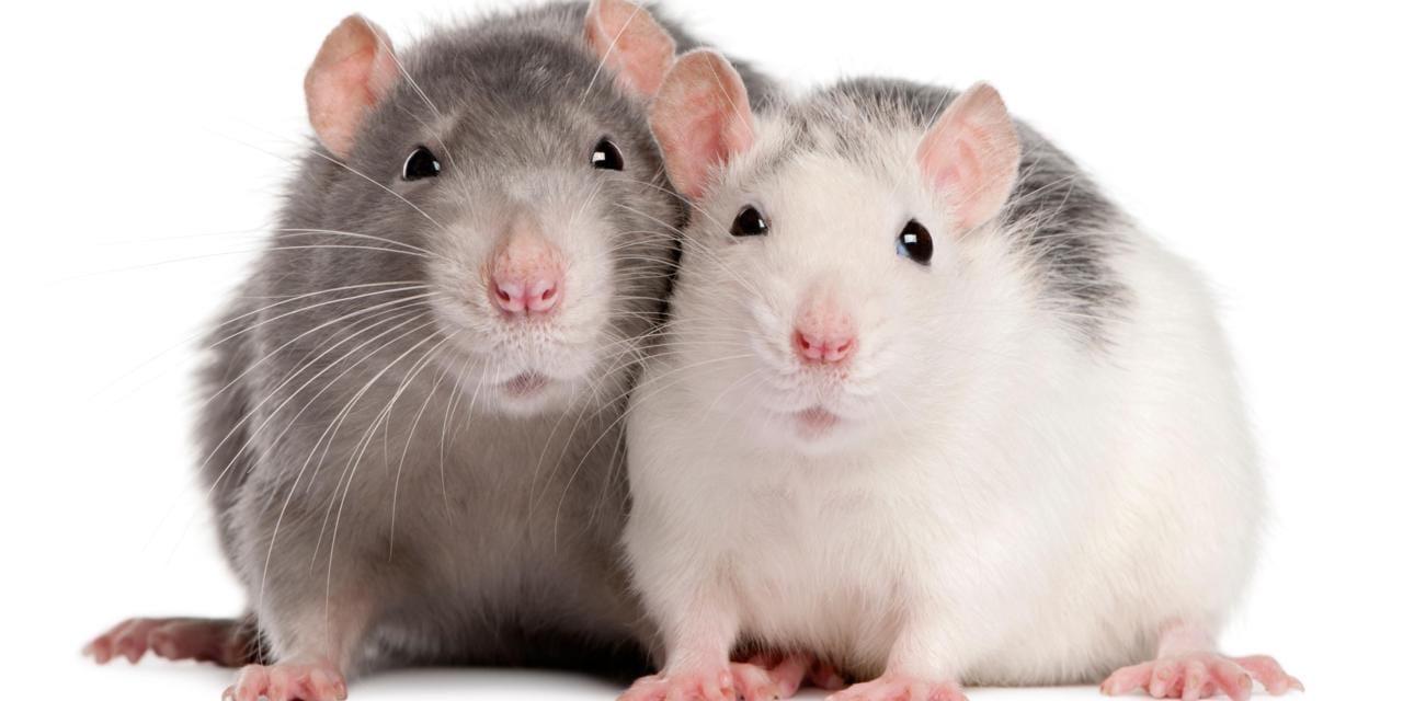 """تفسير الفأر في المنام لابن سيرين ومعناه """" أدق التفسيرات"""""""