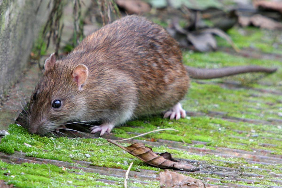 تفسير حلم الفأر الرمادي في المنام