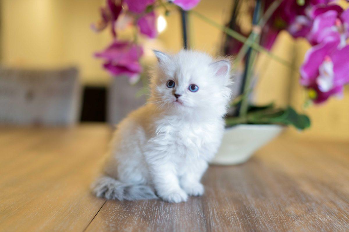 تفسير حلم القطط البيضاء