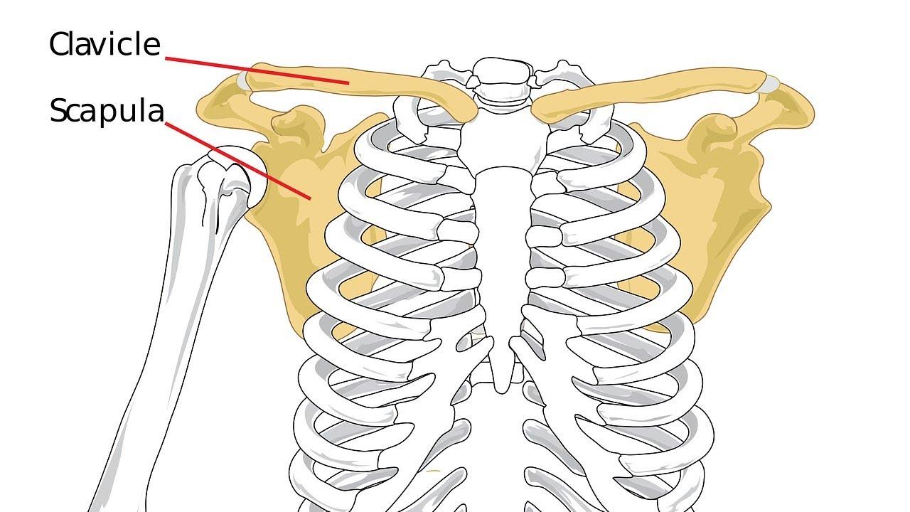 ما هي عظام الترقوة