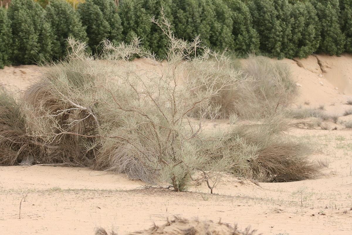 ينمو نبات الأرطى في بيئة